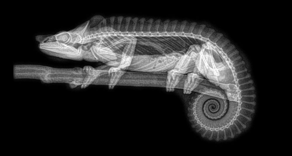 ABD'de hayvanat bahçesindeki hayvanların X-Ray görüntüleri 2