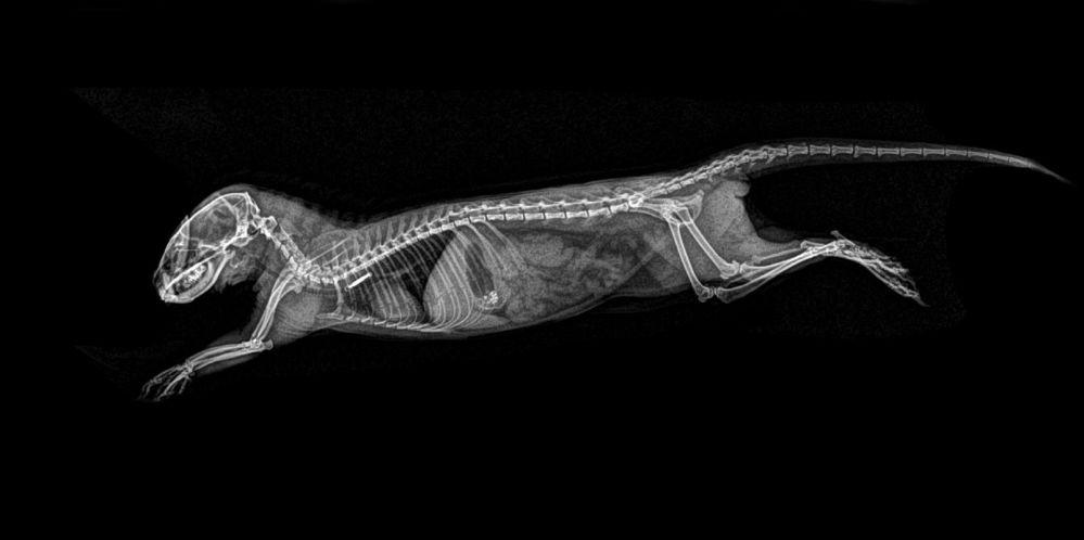 ABD'de hayvanat bahçesindeki hayvanların X-Ray görüntüleri 3