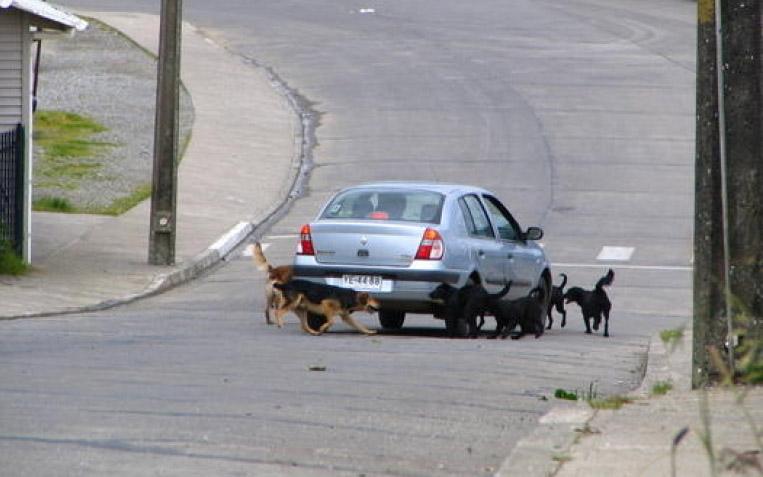 Köpekler neden araçları kovalar?