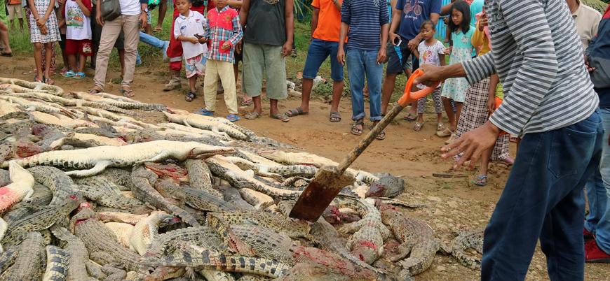 Endonezya'da 'intikam' katliamı: 300'e yakın timsah öldürüldü