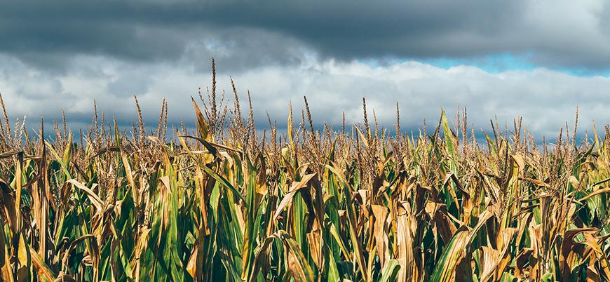 Avrupa'da kuraklık tarım arazilerini vurdu, çiftçiler çaresiz
