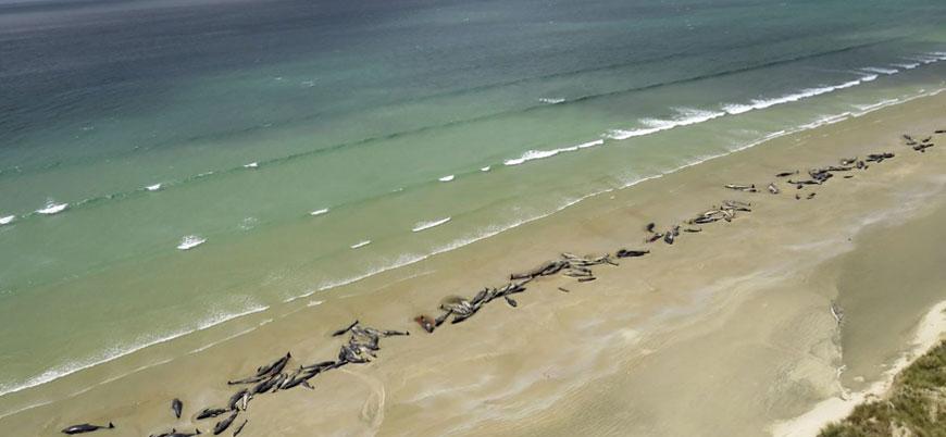 Yeni Zelanda'da sahile vuran 150 balina 'uyutuldu'