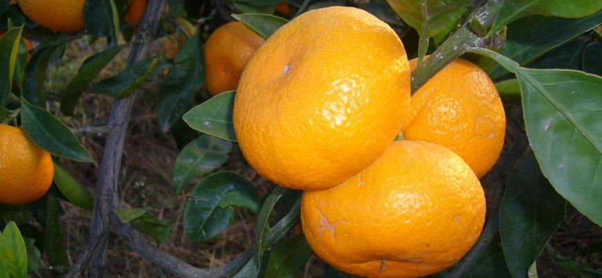 Rusya Türkiye'den giden 550 ton mandalinayı ülkeye sokmadı