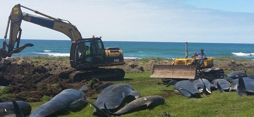 Yeni Zelanda'da 51 balina daha sahile vurarak öldü