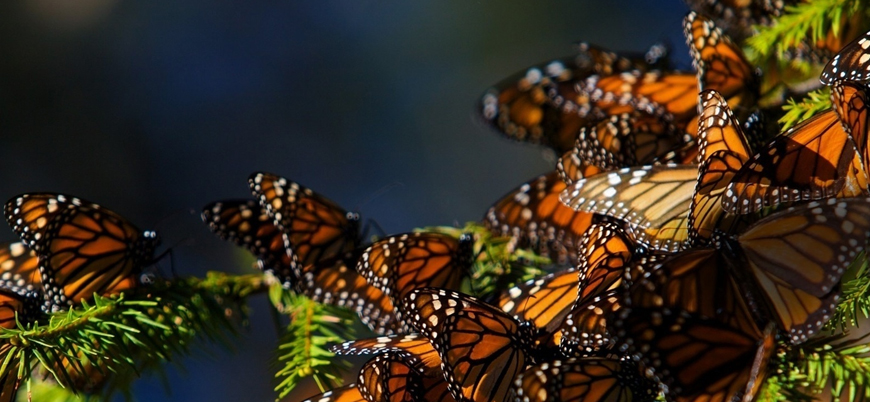 Böcek türlerinin yarısı yok olma tehdidiyle karşı karşıya