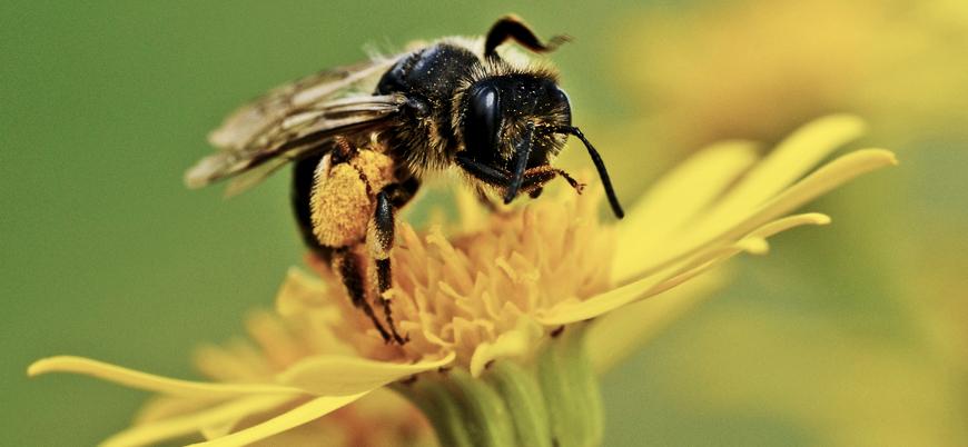 Kelebek ve arıların sayısı neden azaldı?