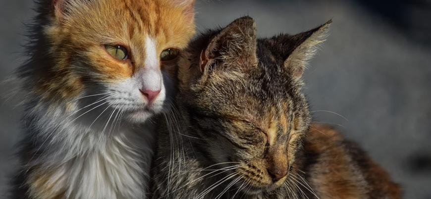 Avustralya önümüzdeki yıl 2 milyon kedi öldürmeyi planlıyor