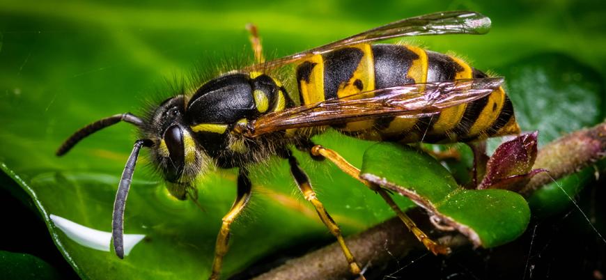 Eşek arıları basit denklemleri çözebiliyor