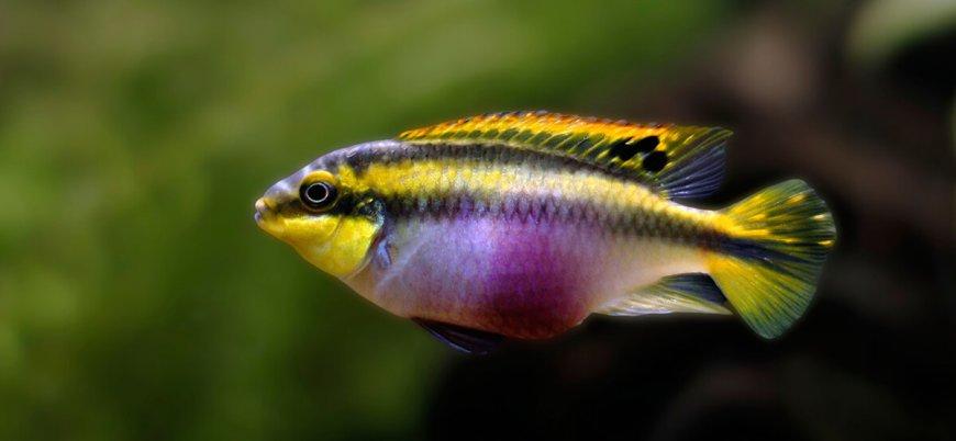 Araştırma: Sevdiklerinden ayrı kalan dişi zebra ciklet balıkları 'umutsuzlaşıyor'