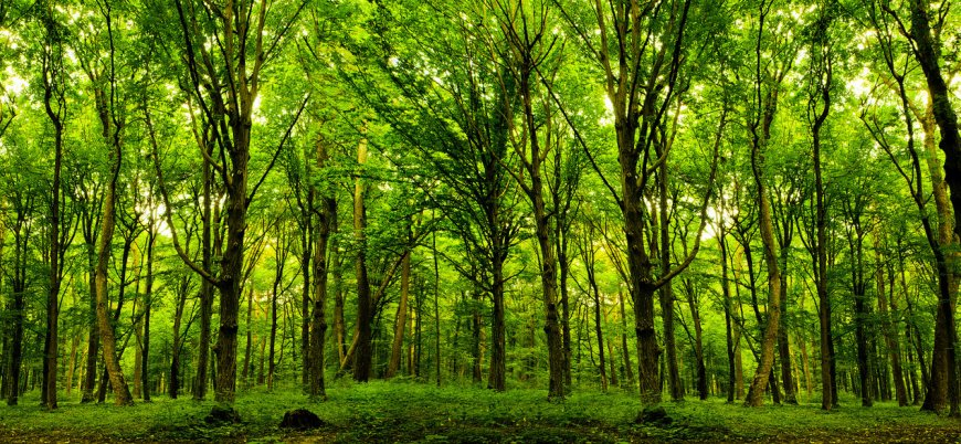 İklim değişikliğiyle mücadelenin en etkili yolu: Milyarlarca ağaç dikmek