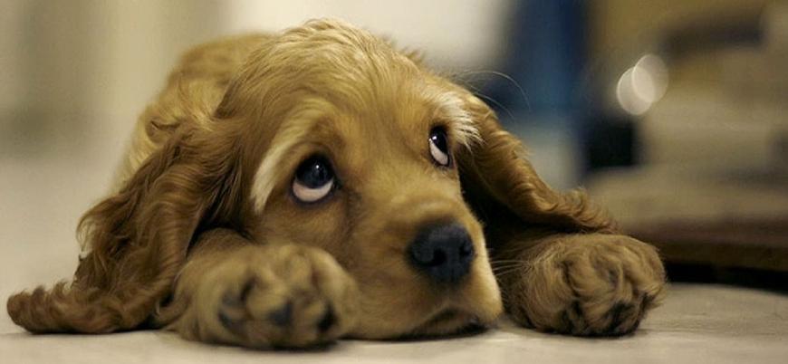 'Köpeklerin üzgün bakışları insanların ilgisini çekmek için evrimleşti'
