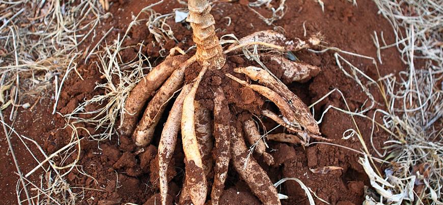 İnsanoğlu zehirli bitkileri belli işlemlerden geçirerek yemeyi nasıl öğrendi?