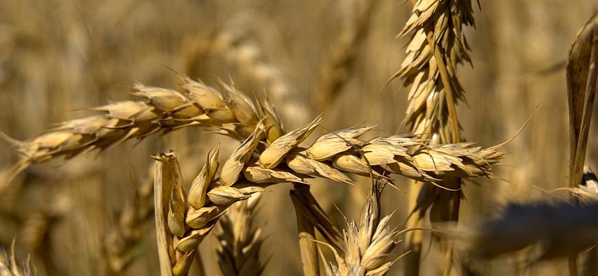 Küresel ısınma nedeniyle yüzyılın sonunda buğday tarlalarının çoğu yok olacak