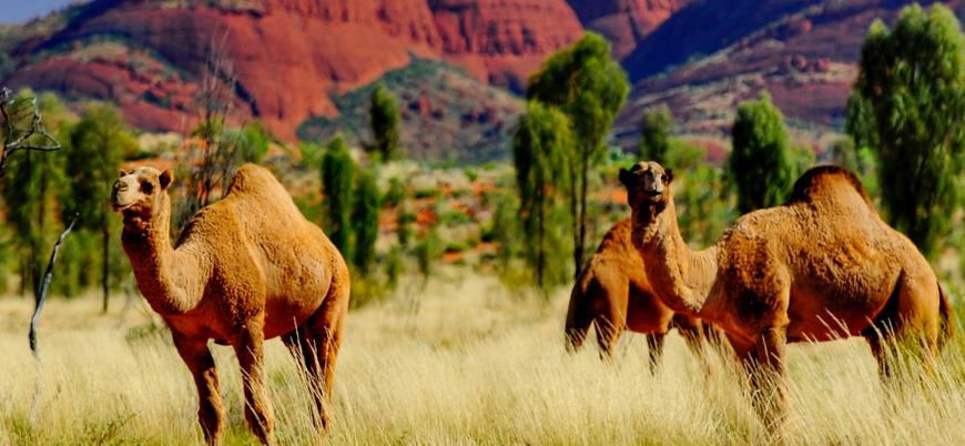 Avustralya'daki deve katliamına atlar da eklendi