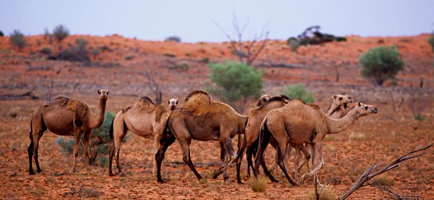 Avustralya'da 5 binden fazla deve vurularak katledildi