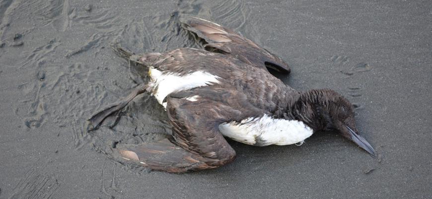 Okyanustaki sıcak su kütlesi bir milyon kuşun açlıktan ölmesine sebep oldu