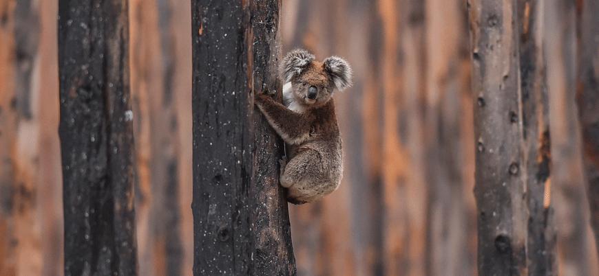 Avustralya'da kereste için onlarca koala öldürüldü