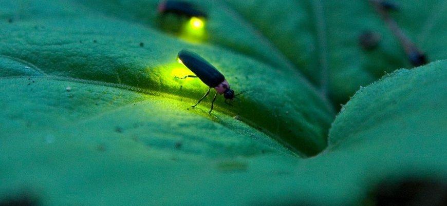 Araştırma: Ateş böceklerinin nesli tükenebilir