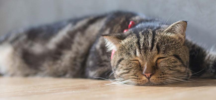 Evcil kedinin koronavirüs testi pozitif çıktı