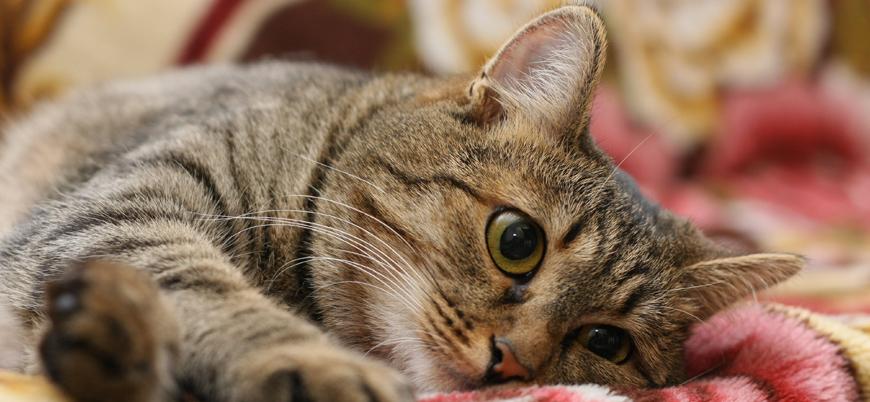 Araştırma: Kediler koronavirüse yakalanabiliyor