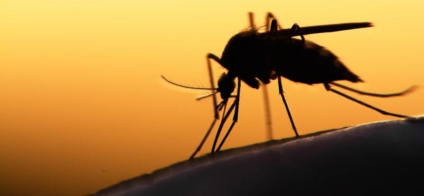 Sivrisinekler koronavirüs taşır mı?