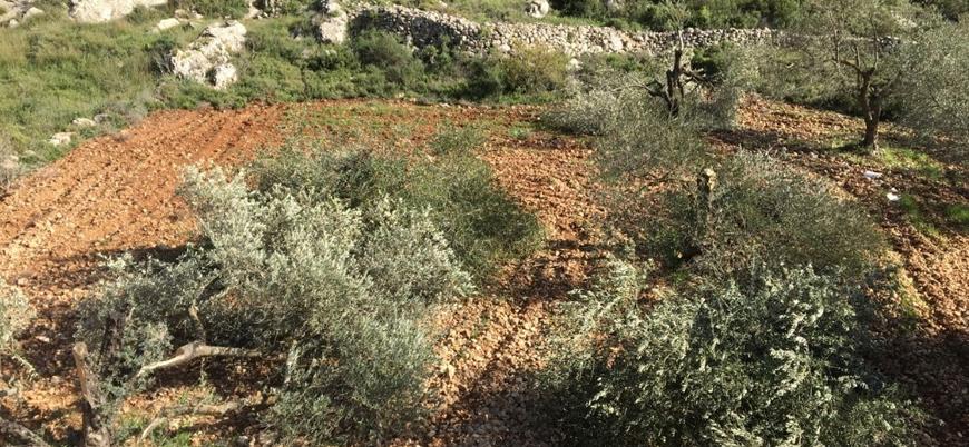 Yahudi yerleşimciler Filistinlilere ait onlarca zeytin ağacını yerinden söktü
