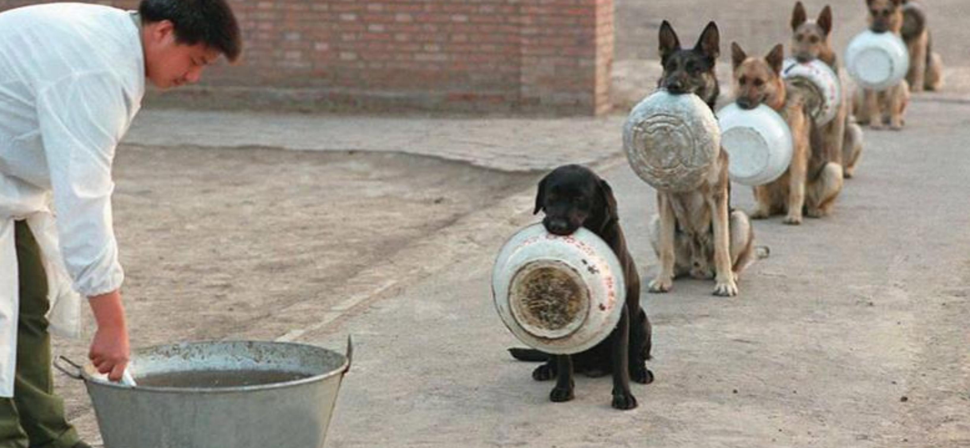 Köpekler yemeklerini yerken neden bir yerden başka bir yere taşır?