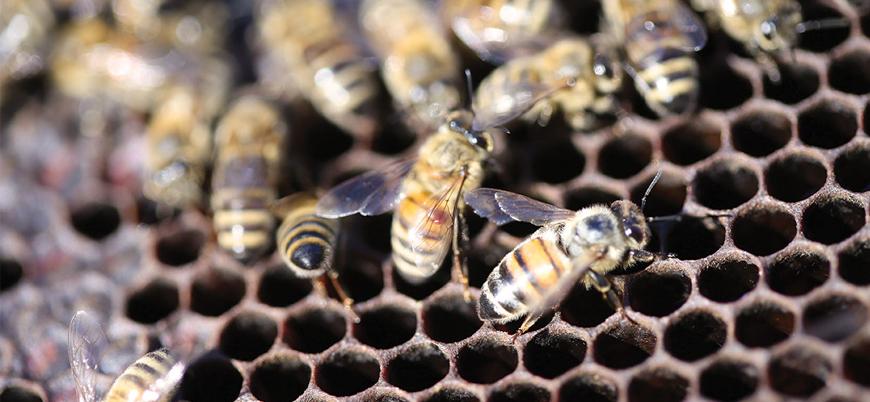 Araştırma: Cep telefonu dalgaları arıları ve böcekleri öldürüyor