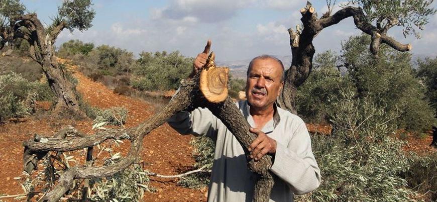 Yahudi yerleşimciler Filistinlilerin zeytin ağaçlarına saldırdı