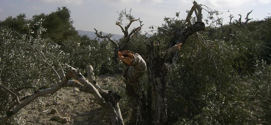 Yahudi yerleşimciler Filistinlilerin zeytin ağaçlarını kesmeye devam ediyor
