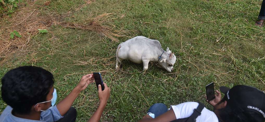 Dünyanın en küçük ineği: 'Rani'