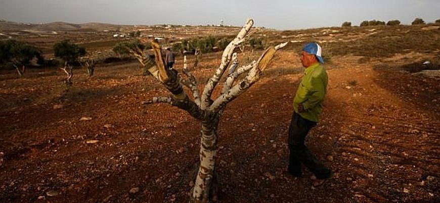 Filistin: Yahudi yerleşimciler Batı Şeria'da 300 zeytin ağacını tahrip etti