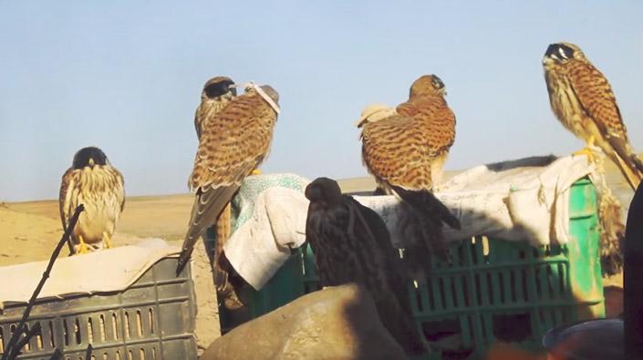 Vazgeçilmez bir tutku: Kuş avcılığı