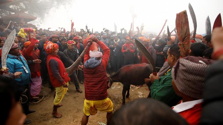 Hindular Gadhimai Tanrıçası için On binlerce hayvan kılıçtan geçirdi