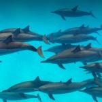 Yunusların avlanma taktiği: Çamur ağı